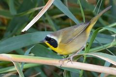 Belding's Yellowthroat201214 2-201214