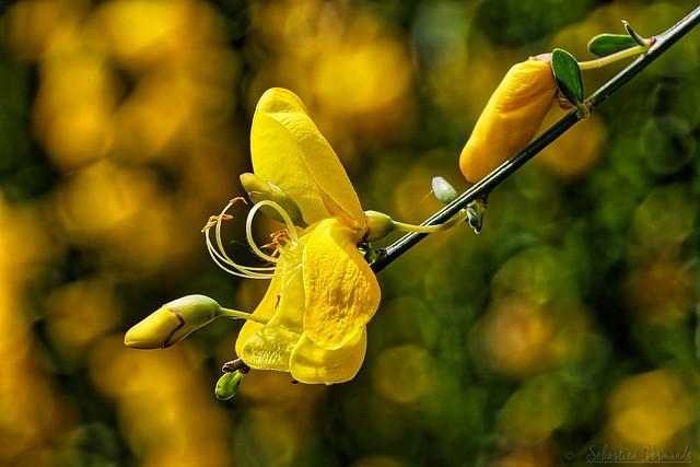 Broom flower - Fleur de genêt