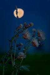 thistles and a blurry moon, Heiligenstock, Frankfurt