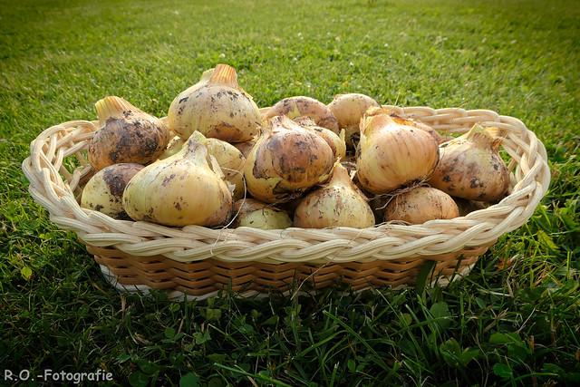 Ernte Zwiebeln / Harvest onions