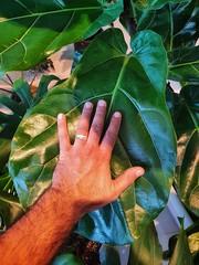 My Fiddle leaf fig tree(Ficus lyrata)