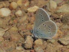 Rotklee-Blu00e4uling, Weibchen