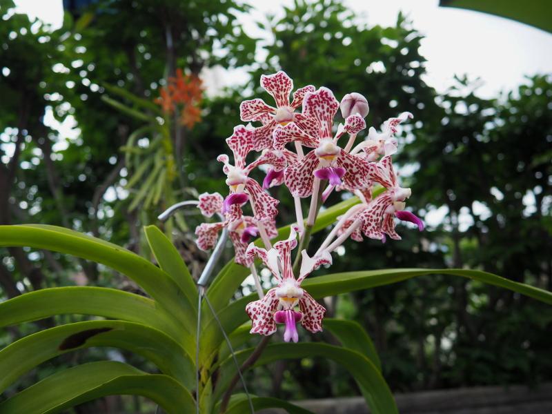 Les Orchidées chez Cloo en 2021 - Page 13 51330636943_69c3f5d5e6_o