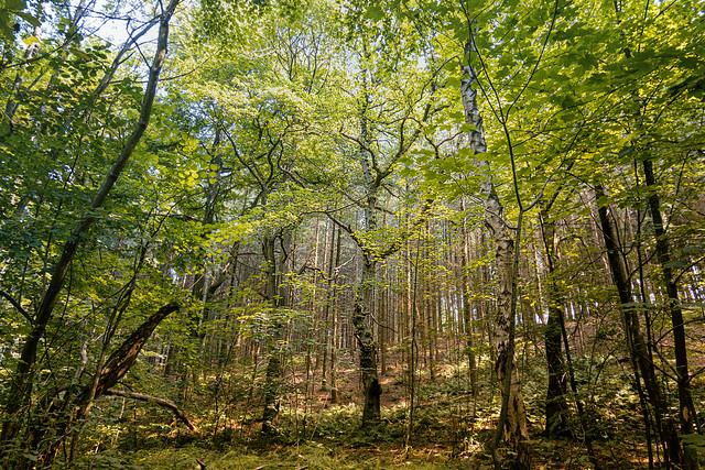 am Ronheider Berg im Wald