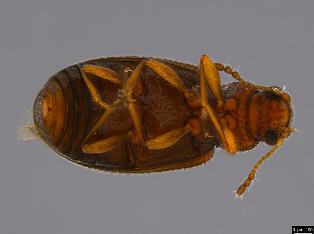5c - Corticariinae sp.