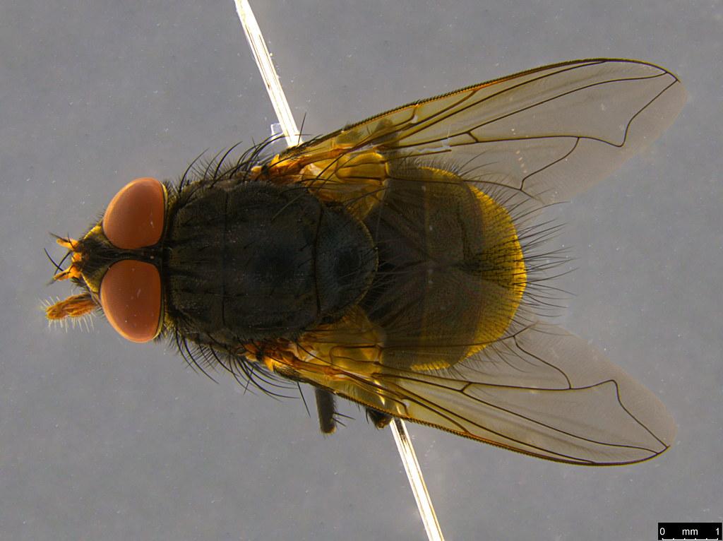 11a - Calliphorinae sp.