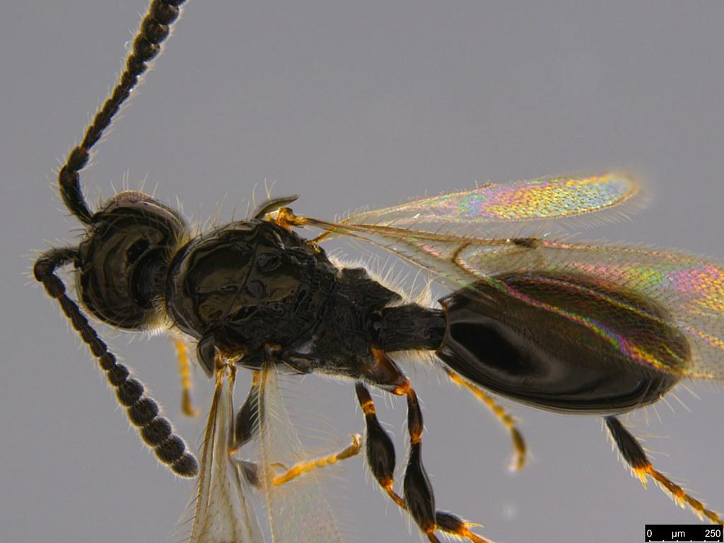 14c - Diapriidae sp.