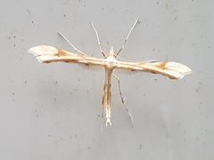 Rainfarn-Federmotte (Gillmeria ochrodactyla) (1)
