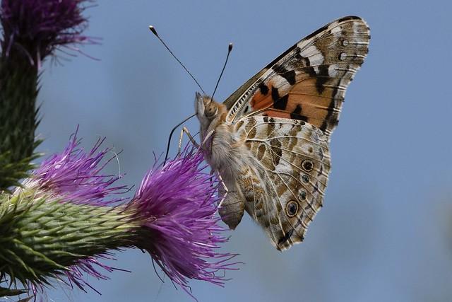 DSC_7574 farfalla su cardo in Cona vanessa del cardo