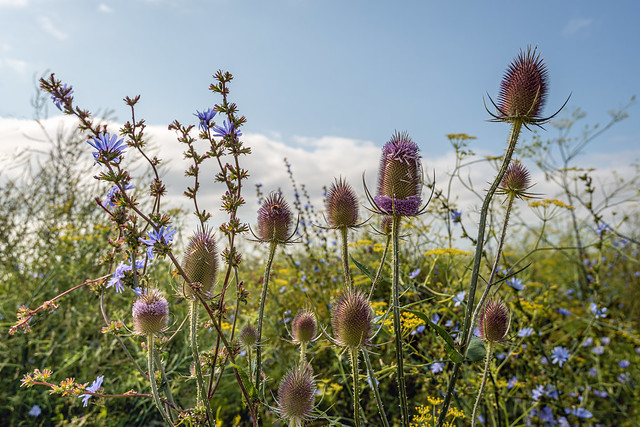 Dutch field edge with flowering plants to promote biodiversity