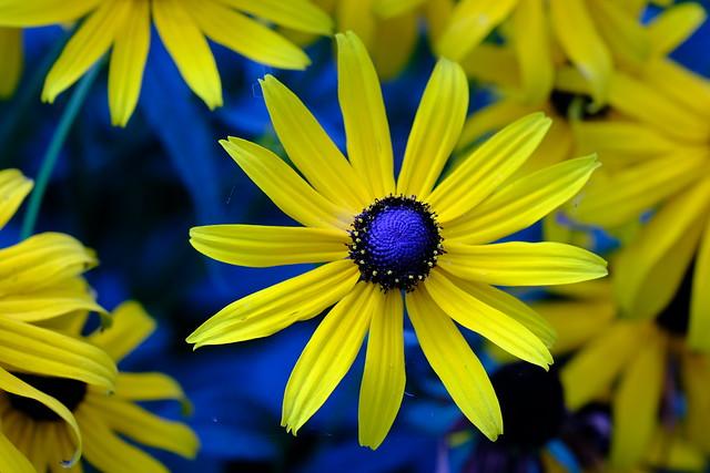 Blue-Eyed Susan