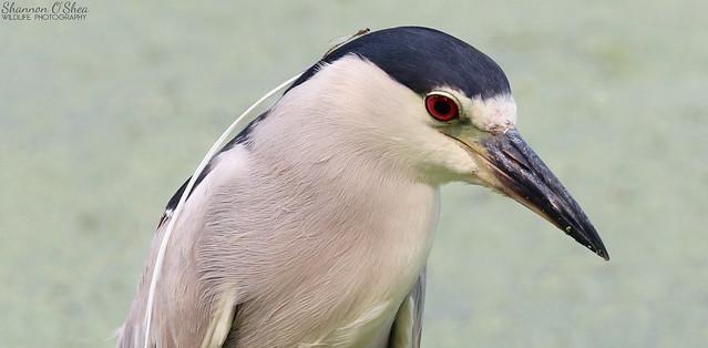 Black-crowned Night Heron with Damselfly