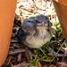 Fledgling Scrub Jay