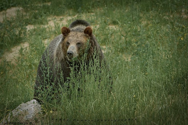 Ours Grizzly , Grizzly bear