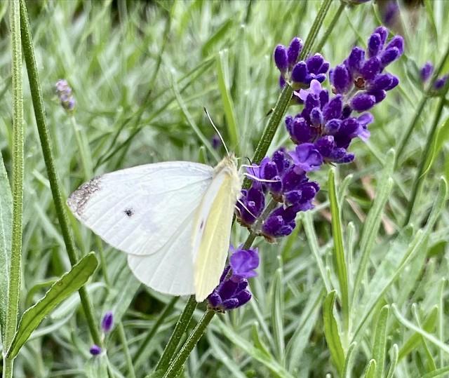 Koolwitje en Lavendel.