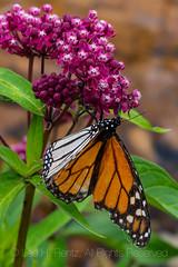 Monarch Butterfly on Milkweed in Michigan