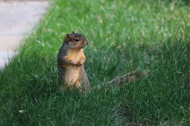 Fox Squirrels in Ann Arbor at the University of Michigan on July 22nd, 2021