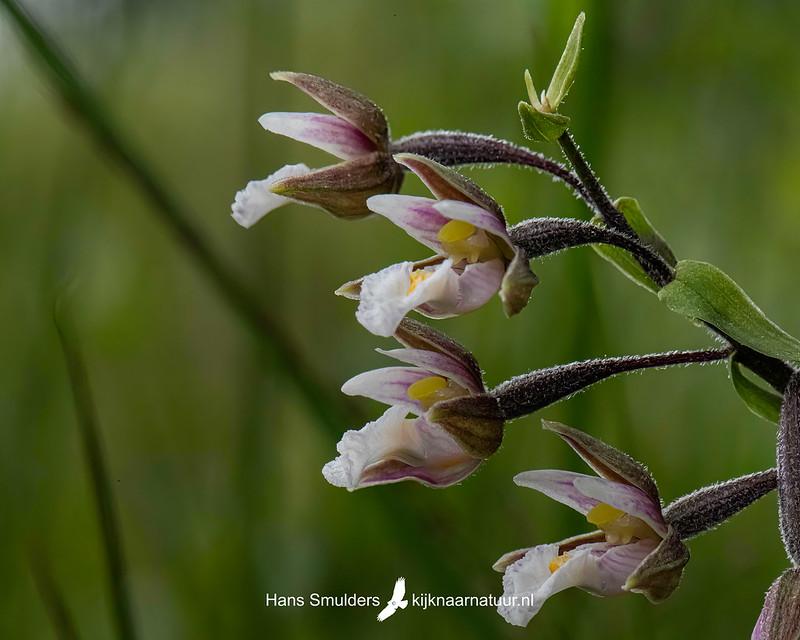 Moeraswespenorchis (Epipactis palustris)-850_4522