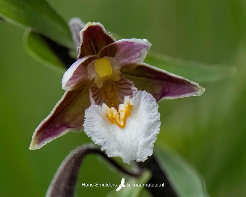 Moeraswespenorchis (Epipactis palustris)-850_4516