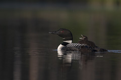 Common Loon with tired chick