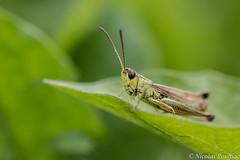 Sauterelle - Grasshopper