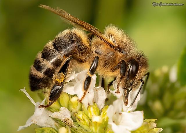 55D_6588 Honey Bee
