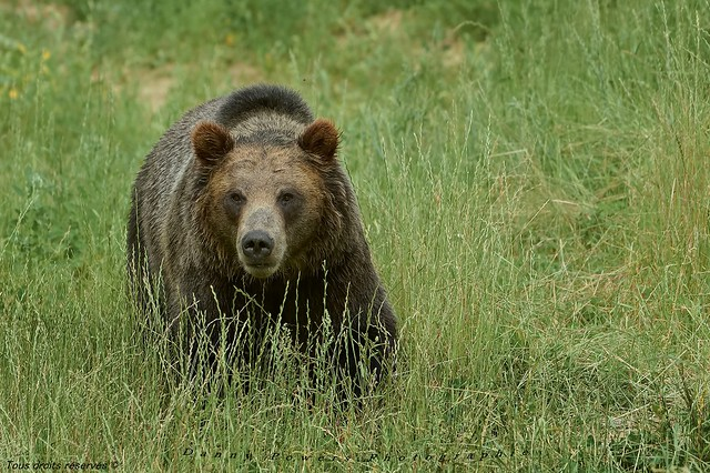 Ours Grizzly , Grizzly bear ,,