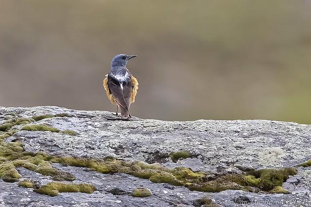 Rufous-tailed Rock-Thrush (Monticola saxatilis)