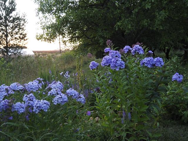 Blue phloxes