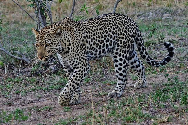 Leopard On The Move (Panthera pardus)