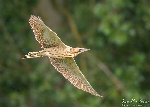 Bittern Flyby with a story