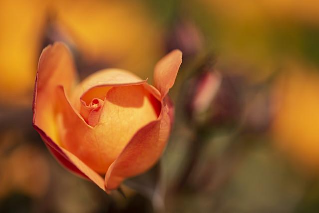 rosebud 8493