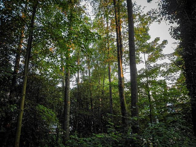 Evening mood in the forest  /  Abendliche Stimmung im Wald