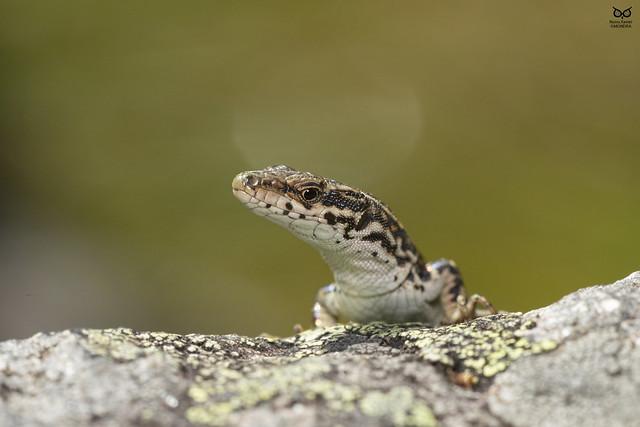 Lagartixa-do-noroeste (Podarcis guadarramae)