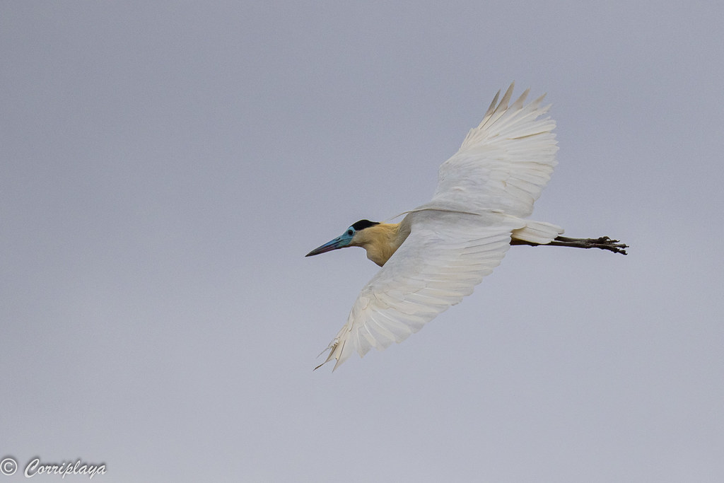 Garza capirotada, Pilherodius pileatus, Capped Heron