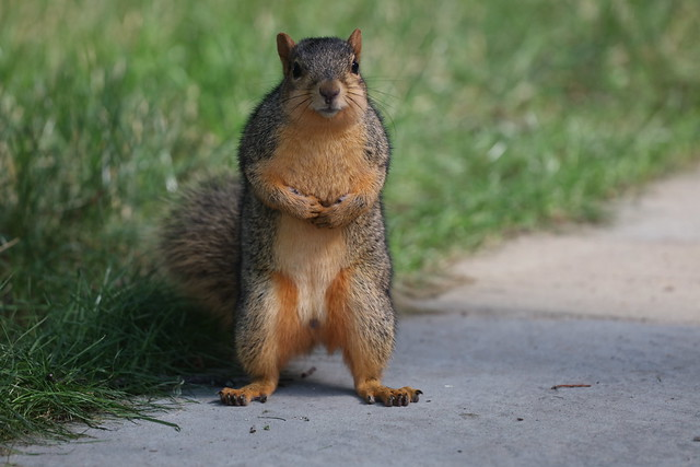 Fox Squirrels in Ann Arbor at the University of Michigan 203/2021 41/P365Year14 4789/P365all-time (July 22, 2021)