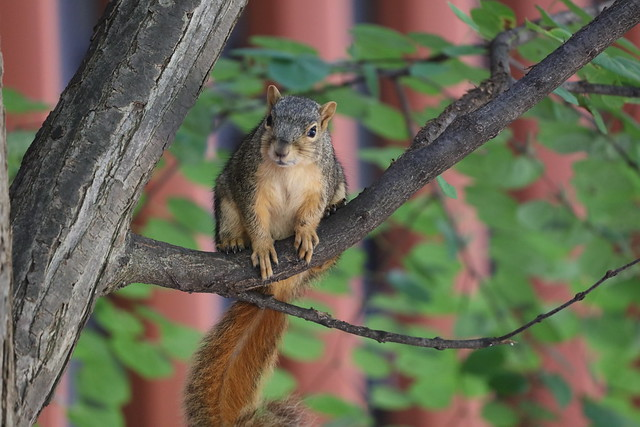 Fox Squirrels in Ann Arbor at the University of Michigan 202/2021 40/P365Year14 4788/P365all-time (July 21, 2021)