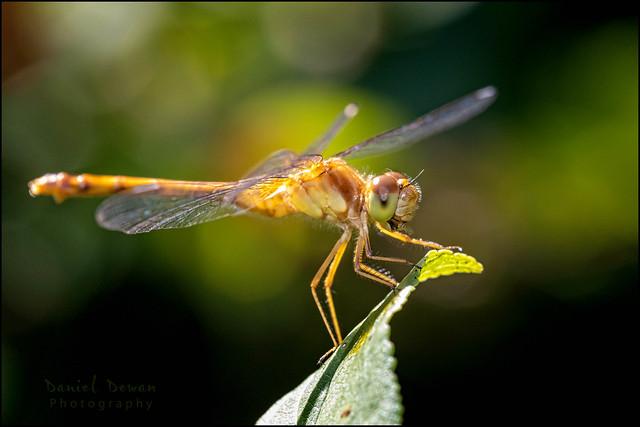 Autumn Meadowhawk - Female - July 23 2021