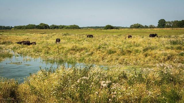 Wasserbüffel - Bislicher Insel