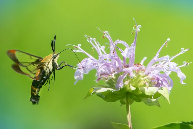 The Hummingbird Moth on the Bee Baum