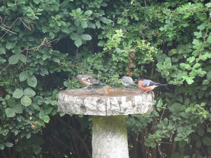 Birds at the font - robin, chaffinch, blue tit (?) and bullfinch