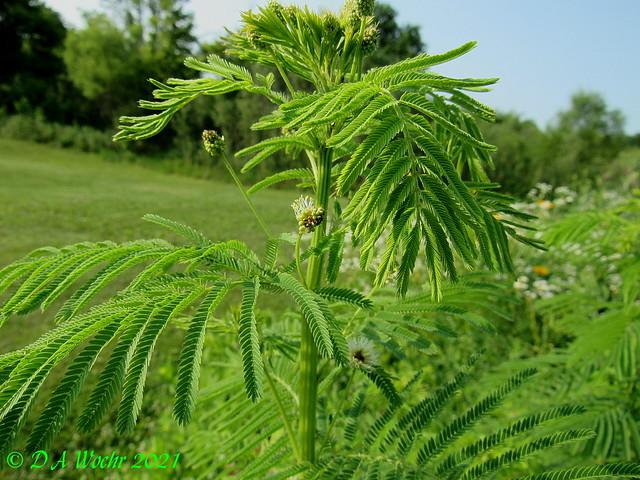 Prairie Mimosa
