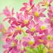 韭蘭(rain lily)