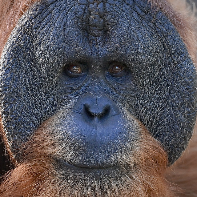 Sumatra Orang-Utan Tuan