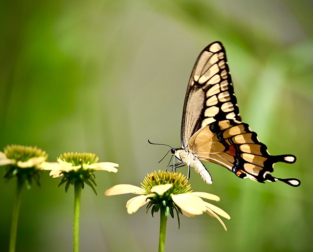 Swallow Tail 7/17/21 (Explored 7/25)