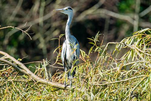 Proud heron, West Park