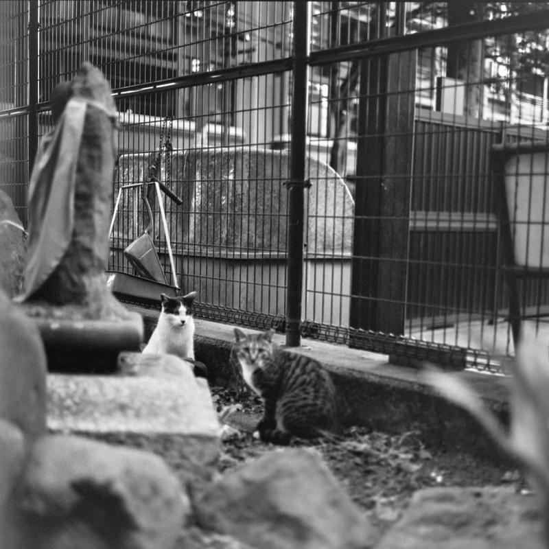 05ZENZA BRONICA S2+NIKKOR 75mm f2 8+KODAK 400TX雑司ヶ谷三丁目鬼子母神の猫 黒ブチ キジ白