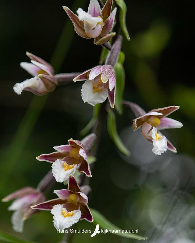 Moeraswespenorchis (Epipactis palustris)-850_4539