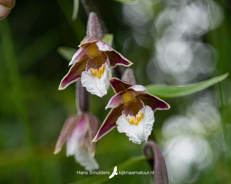 Moeraswespenorchis (Epipactis palustris)-850_4531