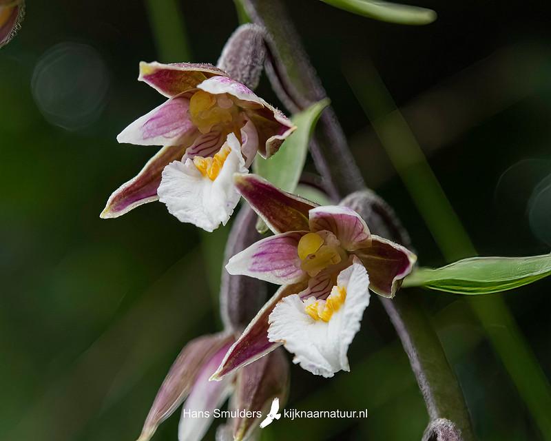 Moeraswespenorchis (Epipactis palustris)-850_4529